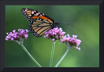 Monarch Butterfly on Three Verbena Flowers