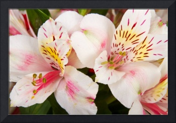 Peruvian Lilies Flowers White and Pink Color Print