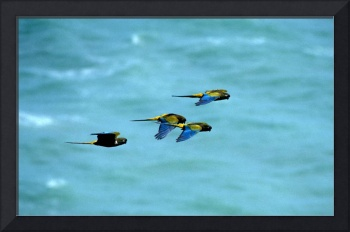 Patagonian Conures in Flight