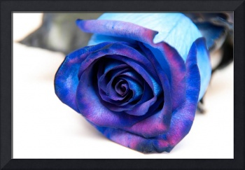 Blue And Purple Rose