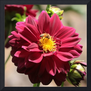 Bee on Red Dahlia