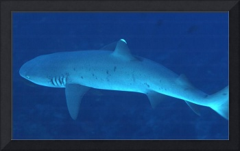 Above Whitetip Shark