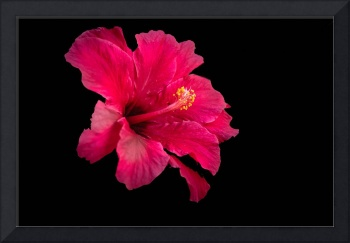 Floating  Hibiscus