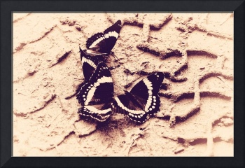Butterflies in The Sand