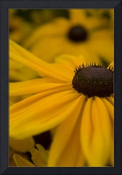 Black-Eyed Susan - 2