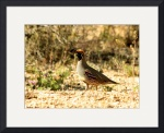 Gambel's Quail IMG_0959 by Jacque Alameddine