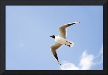 Black head seabird flying in the blue air.