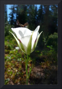 White Mariposa Lily and Bee