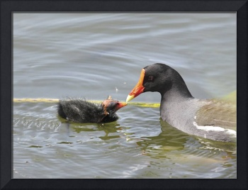 Common Moorhen Photograph