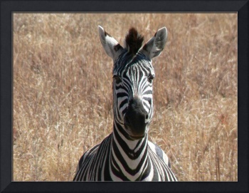Zebra - Close Up