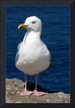 Fearless Seagull