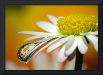 Daisy with Waterdrops and Reflections