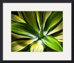 Variegated Agave by John Corney