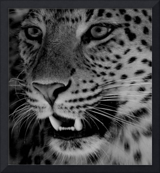 Big Cat B&W