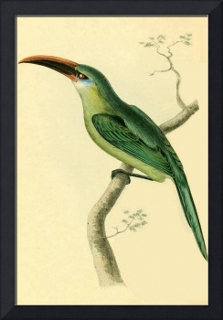 Grooved-bill Aracari - PD Image