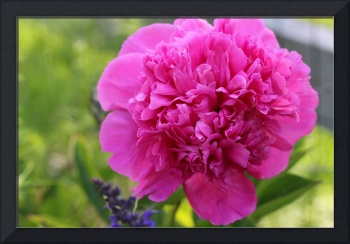 Pink Peony 2016 Number 2