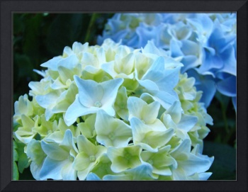 Unique Nature Floral Blue Hydrangeas art prints