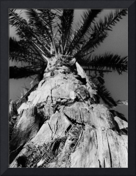 A Palm Tree (B&W)