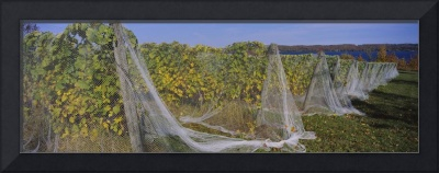 Vines covered with nets in a vineyard
