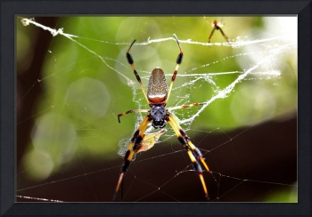 The male and female banana spider
