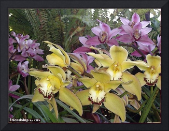 'Friendship' Orchid Flowers