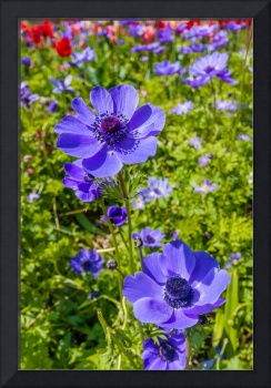 Beautiful anemones