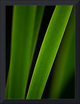 Cattail leaves