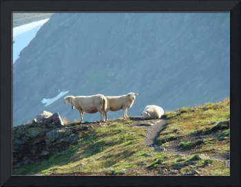 Welcoming Sheep on Hardangerviden Norway