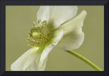Poppy Anemone White & Green