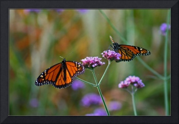 Butterflies  Two Monarchs in Fall