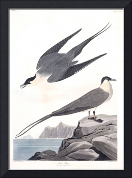 Arctic Yager, Plate 267