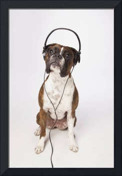 Boxer Dog With Headphones