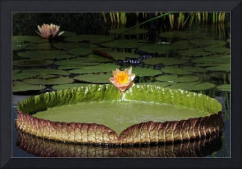 Temperate and Tropical Waterlilies