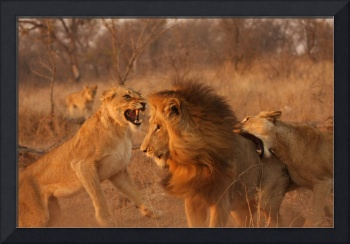 Lion Fight (9)