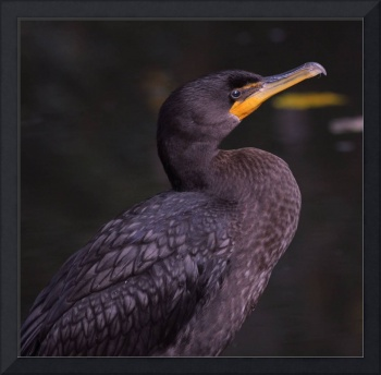 Double-crested Cormorant  Series 1/3