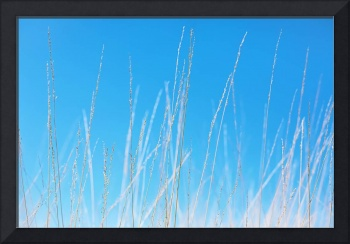 Golden Grasses against a Clear Blue Sky - Natalie
