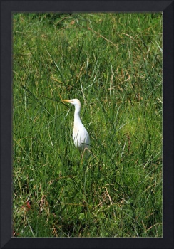 Cattle Egret Standing in Grass