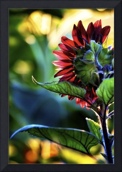 Backlit Sunflower
