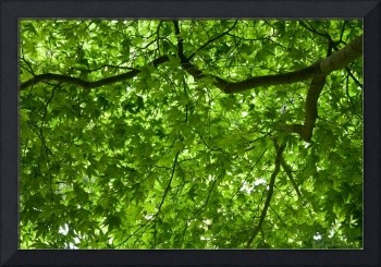 Maple Tree Canopy