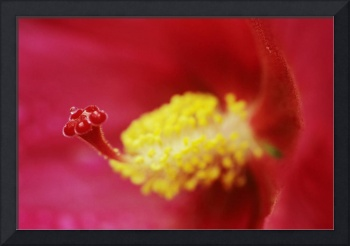 Red Hibiscus, Close-Up Of Water Droplet On End Of