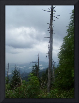 Lonely Tree, Smoky Mountains Nat'l Park, Tennessee