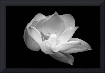 Indian Sacred Lotus in black and white