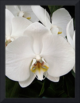 White orchid lrg card