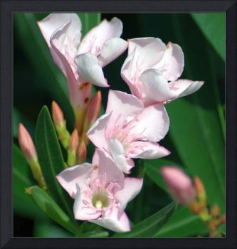 Pink Oleander flowers closeup Woodlands TX