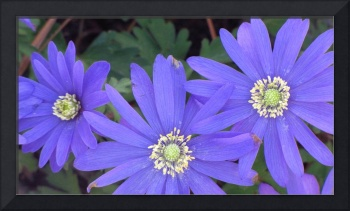 three purple flowers