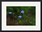 Forget Me Not by Ken Dietz