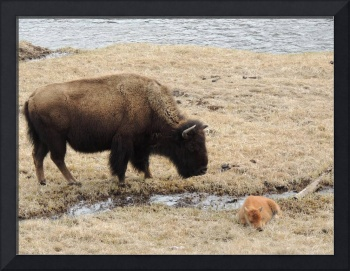 Baby Buffalo With Mother