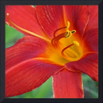 Single Red Lily