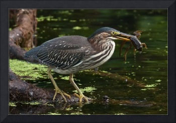 Green Heron with Meal