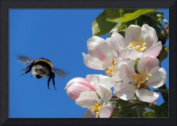 Apple Blossom and a Bee